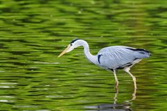 Grey Heron (ardea cinerea) hunting Royalty Free Stock Image