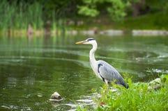 Grey Heron Ardea Cinerea Hunting By The Water. Stock Photos