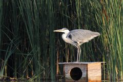 Grey Heron Ardea cinerea hunting a fish Stock Photo