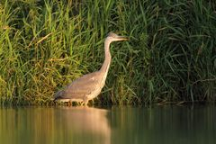 Grey Heron Ardea cinerea hunting a fish Royalty Free Stock Photography