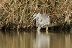 Grey Heron Ardea cinerea hunting a fish Stock Images