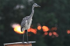 Grey Heron Ardea cinerea hunting a fish Royalty Free Stock Photography