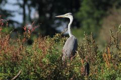 Grey Heron Ardea cinerea hunting a fish Stock Image