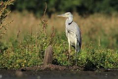 Grey Heron Ardea cinerea hunting a fish Royalty Free Stock Photo