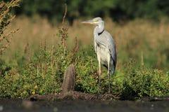 Grey Heron Ardea cinerea hunting a fish Royalty Free Stock Photo