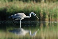 Grey Heron Ardea cinerea hunting a fish Royalty Free Stock Photos