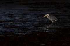 Grey heron, Ardea cinerea, hunting, fishing, besides, a low pool during stark early morning light in scotland during october. royalty free stock photo