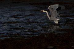 Grey heron, Ardea cinerea, hunting, fishing, besides, a low pool during stark early morning light in scotland during october. stock images