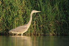 Grey Heron Ardea cinerea hunting Royalty Free Stock Photo