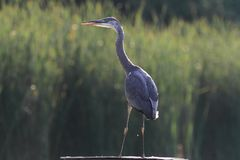Grey Heron Ardea cinerea hunting Stock Images