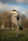 Grey Heron Ardea Cinerea. Isolated Grey Heron Ardea Cinerea Stock Photos