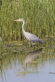 Grey Heron, Ardea Cinerea Royalty Free Stock Image