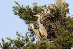 Grey Heron Royalty Free Stock Photo