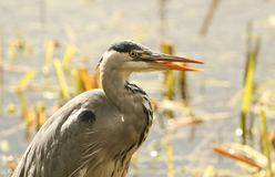 Grey Heron Ardea cinerea just after it has swallowed a pike. Royalty Free Stock Photo