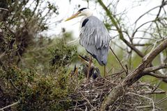 Grey Heron (Ardea cinerea) and kids Royalty Free Stock Images