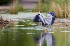 Grey Heron Ardea cinerea. Landing with spread wings in small pond in Frankfurt, Germany, Europe Stock Images