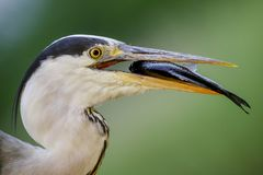Grey Heron - Ardea cinerea. Large gray heron from Euroasian lakes and rivers Stock Photos