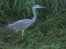 Grey heron (Ardea cinerea) Royalty Free Stock Photo
