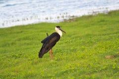 The grey heron royalty free stock photography