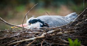 Grey heron nesting royalty free stock photos