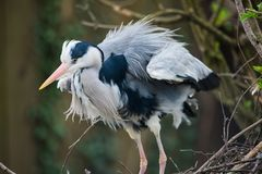 Grey heron on a branch stock images