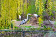 Grey heron on a fence stock photography