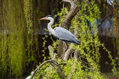 Grey heron on a tree stock photography