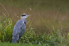 Grey Heron (Ardea cinerea) Stock Photo