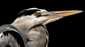 Grey heron (Ardea cinerea). With low key lighting on black background Royalty Free Stock Images