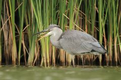 Grey Heron Ardea cinerea mangiando un pesce Immagini Stock Libere da Diritti