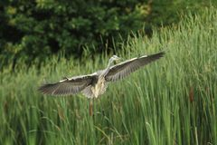 Grey Heron Ardea cinerea Stock Photo