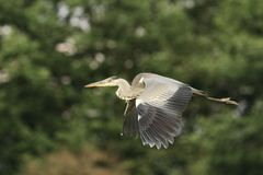 Grey Heron Ardea cinerea Royalty Free Stock Photo