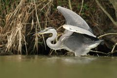 Grey Heron Ardea cinerea Royalty Free Stock Images