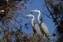 Grey Heron Ardea cinerea nell'amore Immagine Stock Libera da Diritti