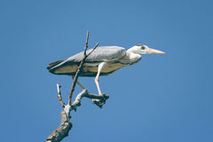 Grey heron, Ardea cinerea Stock Photography
