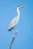 Grey heron, Ardea cinerea. On the nest in spring Royalty Free Stock Image