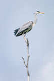 Grey heron, Ardea cinerea Stock Images