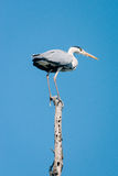 Grey heron, Ardea cinerea Stock Photo