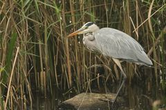 A Grey Heron Ardea cinerea perched up on a log in the reeds hunting for fish. A stunning Grey Heron Ardea cinerea perched up on a log in the reeds hunting for Stock Photo