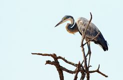 African Grey Heron perched at the top of a tree in South Luangwa National Park Royalty Free Stock Photography