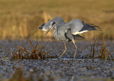 Grey Heron Ardea cinerea Stock Photography