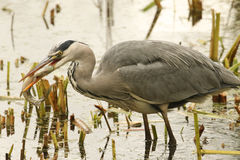 Grey Heron Ardea cinerea with a pike that it has just caught and is eating. Stock Photos