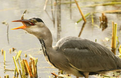 Grey Heron Ardea cinerea with a pike that it has just caught and is eating. Royalty Free Stock Image