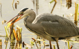 Grey Heron Ardea cinerea with a pike that it has just caught and is eating. Royalty Free Stock Photos