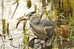 Grey Heron Ardea cinerea with a pike that it has just caught and is eating. Stock Images