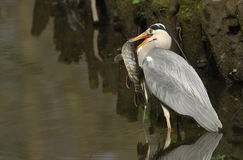Grey Heron Ardea cinerea with a pike that it has just speared and is going to eat. Royalty Free Stock Photos