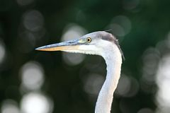 Grey Heron Ardea cinerea portrait Royalty Free Stock Image