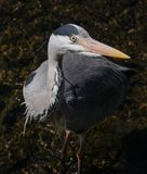 Grey Heron / Ardea cinerea portrait, head and eye detail in river stock photo
