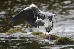 Grey Heron (Ardea cinerea) preening Royalty Free Stock Image