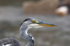 Grey heron (Ardea cinerea) profile Stock Image